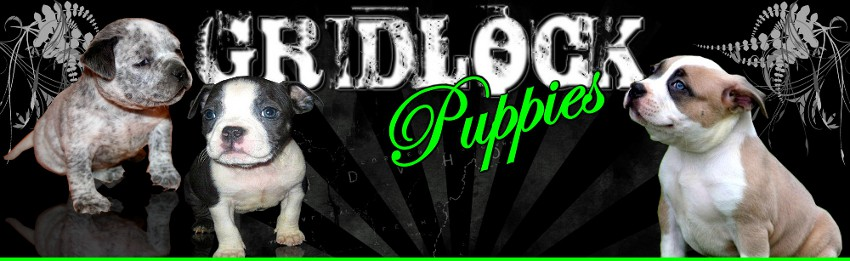 Pitbull puppies for sale, Gottiline Bullies, Gottiline Blue Pitbulls