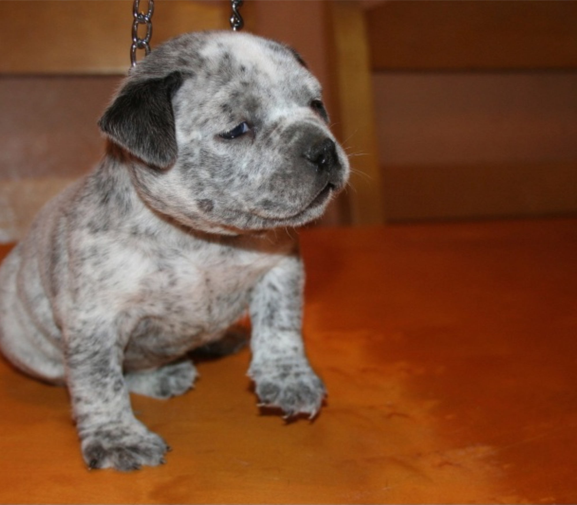 Blue pits for sale in kentucky - Pitbull Puppies For Sale Pitbull Kennel Pitbull For Sale Bule Pitbull For Sale